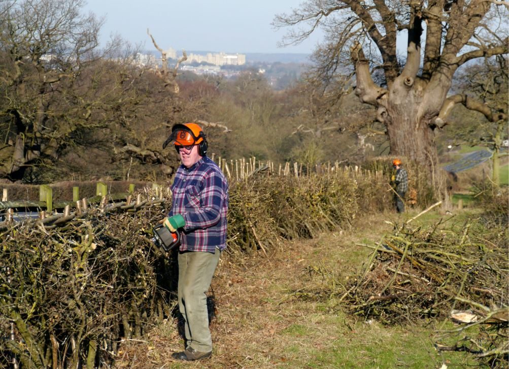 Hedgelaying in Berkshire